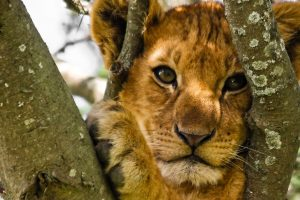 Cute Lion Cub Portrait